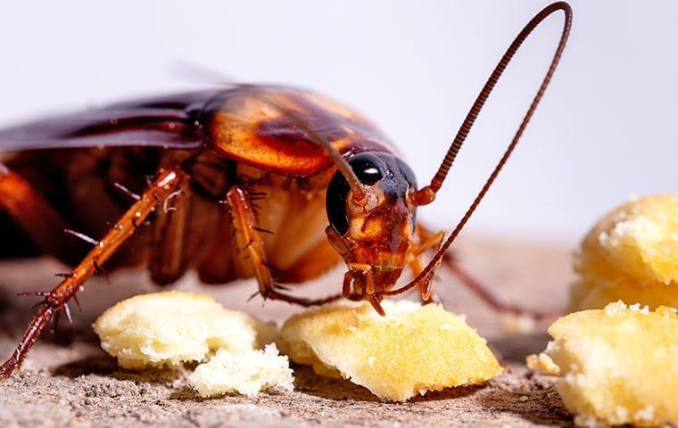Cucaracha americana comiendo