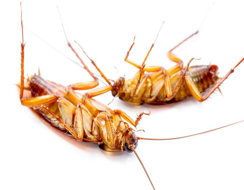 Cucaracha americana muerta